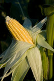 The ripened corn. Ripened corn in the garden. Sunlight Royalty Free Stock Image