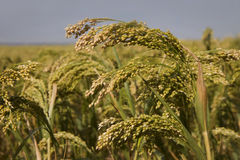 Ripened crop of millet Stock Photography