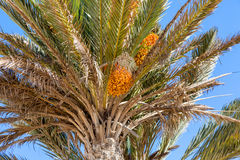 Ripened dates for the tall palms in Sidi Ifni Stock Images