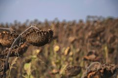 Ripened dry sunflowers in the autumn feld against blue sky concept death for the sake of the futureh royalty free stock images