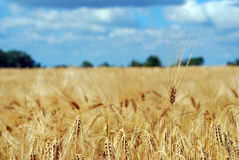 Ripened fields sown with barley Royalty Free Stock Photo