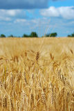 Ripened fields sown with barley Royalty Free Stock Image
