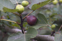 Ripened Fig. On tree, waiting on a bird or myself to indulge. The bird missed out Stock Image