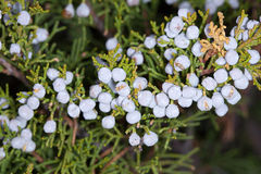 The ripened fruit of juniper Royalty Free Stock Image