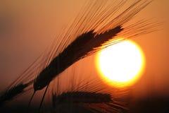 Free Ripened Grain Ready For Harvest Royalty Free Stock Photo - 11958125