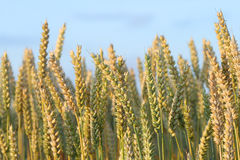Ripened grain ready for harvest. Under blue sky Royalty Free Stock Photos