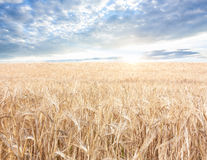 Ripened grain Stock Photos