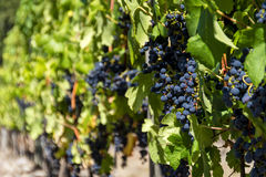 Ripened grapes on a vine. A vineyard on Vancouver Island, British Columbia, Canada Stock Photos