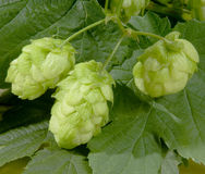 Ripened hop cones Stock Photos