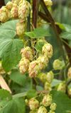 Ripened hop cones in the hop garden Royalty Free Stock Images