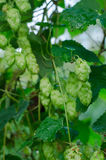 Ripened hop cones. Ripe hop cones in the garden. Beer production component Royalty Free Stock Images