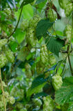 Ripened hop cones. Ripe hop cones in the garden. Beer production component Stock Photo