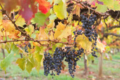 Ripened mature wine grapes in Coonawarra winery, during Autumn i Stock Image