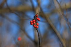 Ripened red berries on a branch. In the forest Stock Image