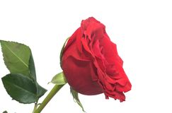 The ripened red fragrant rose Royalty Free Stock Image