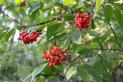 Ripened red rowanberry royalty free stock image