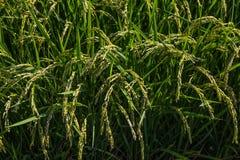 Ripened Rice waiting harvest Royalty Free Stock Photos