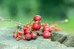 Ripened rose hips and barberies on branches, on wooden stamp. Autumn treasures Royalty Free Stock Photography
