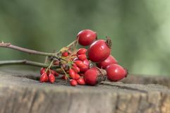 Ripened rose hips on branches, on wooden stamp. Ripened rose hips on branches, on wooden stump, healthy and decorative fruits Royalty Free Stock Photography