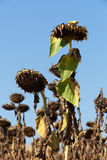 Ripened sunflowers. Ready for harvesting for their seeds Stock Photos