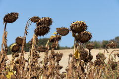 Ripened sunflowers. Ready for harvesting for their seeds Royalty Free Stock Photo