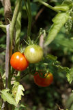 Ripened tomatoes in a vegetable garden Royalty Free Stock Image