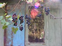 ripened vine Arkivfoton