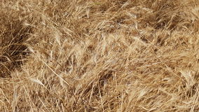 Ripened Wheat Background Stock Photography