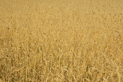 Ripened wheat in the field Royalty Free Stock Photos