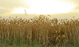 Ripened wheat field. View of ripened wheat crop in golden sunset Stock Photography