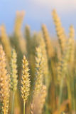 Ripened wheat ready for harvest Royalty Free Stock Images