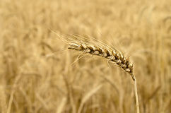 Ripened Wheat Spikelet Royalty Free Stock Photography