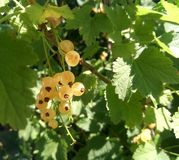 Ripened white currant stock photography