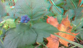 Ripened Wild Blackberry Waiting to be Picked. 3D anaglyph. Autumn stock images