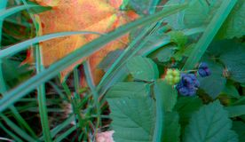 Ripened Wild Blackberry Waiting to be Picked. 3D anaglyph. Autumn stock photos