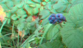 Ripened Wild Blackberry Waiting to be Picked. 3D anaglyph. Autumn royalty free stock photography