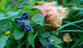 Ripened Wild Blackberry Waiting to be Picked. 3D anaglyph royalty free stock photo