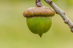 Ripening Acorn Royalty Free Stock Images