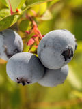 Ripening American blueberries Stock Photography