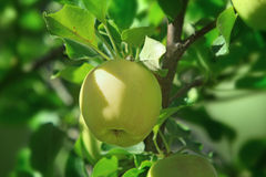Ripening apple on branch Royalty Free Stock Photography