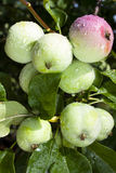 Ripening apples Stock Image