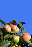 Ripening apples. Apples hanging on a brnch against the blue sky Royalty Free Stock Photos