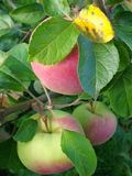 Ripening apples Royalty Free Stock Photos