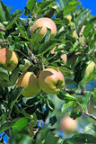 Ripening apples on branch Royalty Free Stock Photography