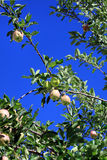 Ripening apples on branch Stock Photo