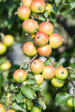 Ripening apples on a branch of tree Royalty Free Stock Photography