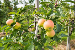 Ripening apples from close Stock Photos