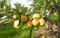 Ripening apples from close Stock Images