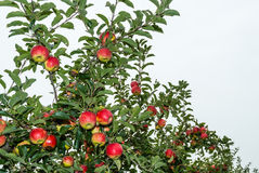 Ripening apples from close Royalty Free Stock Photos
