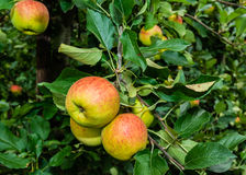 Ripening apples from close Royalty Free Stock Photography